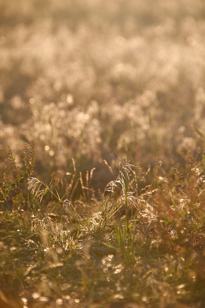 Golden grass is backlit by a setting sun