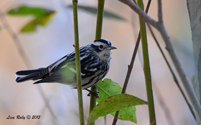 Black and White Warbler - 2/15/15 - Nestor Park