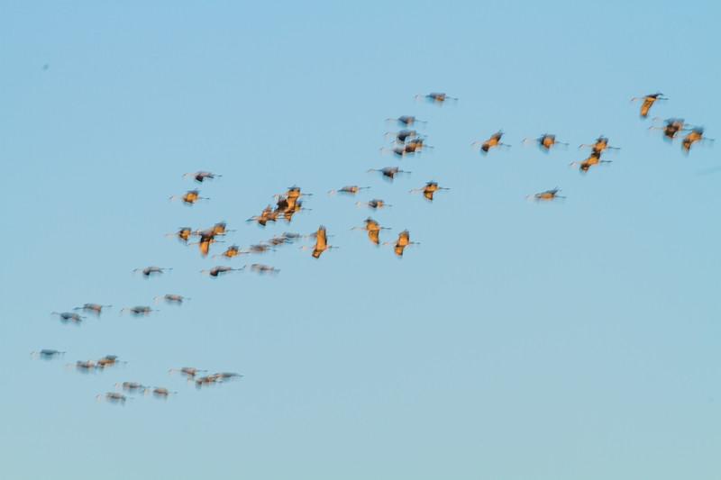 Sandhill Crane blur panning flight flyng fly in Crex Meadows Grantsburg WI IMG_1835.jpg
