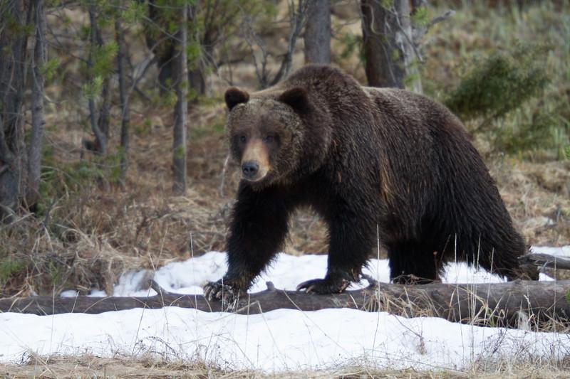Grizzly bear boar male Yellowstone National Park WY IMG_0493.jpg