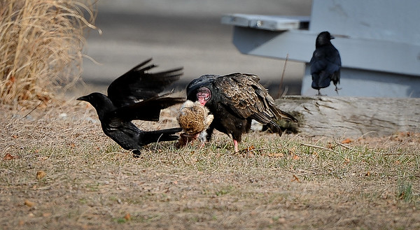 Turkey Vultures, Birds and a Rabbit