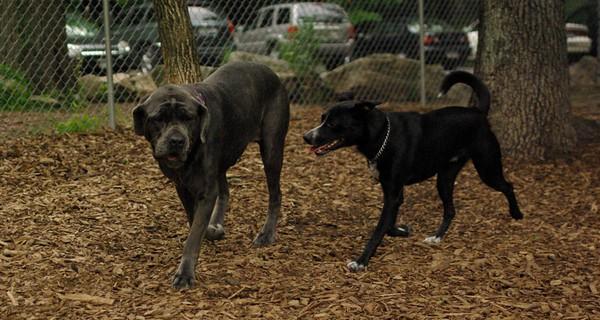 june 28 resize::CARTER mastiff girl