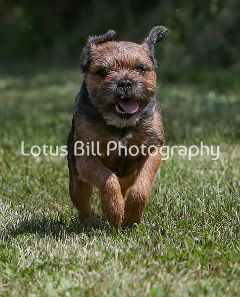 Border Terrier SR