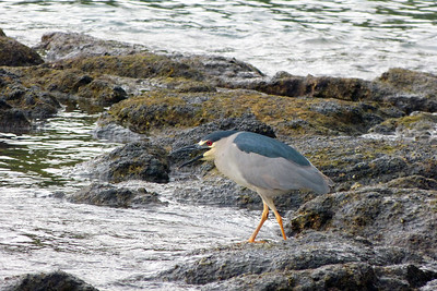 Black-Crowned Night Heron January 2013, Cynthia Meyer, Hawaii