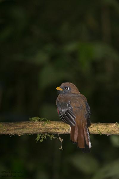 Masked Trogon - Female - Tandayapa Lodge, Ecuador