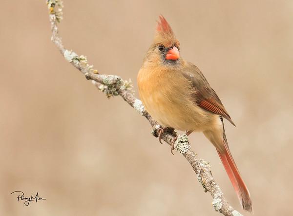 Cardinal female 5 LL.jpg