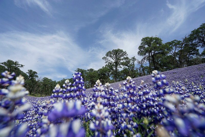 Spring lupines, California