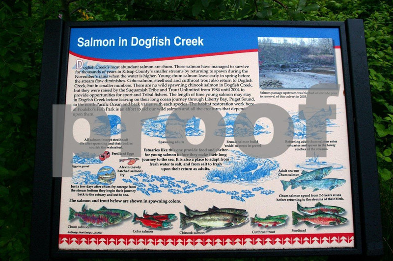 Sign explaining salmon habitat restoration on Dogfish Creek, Poulsbo, WA.