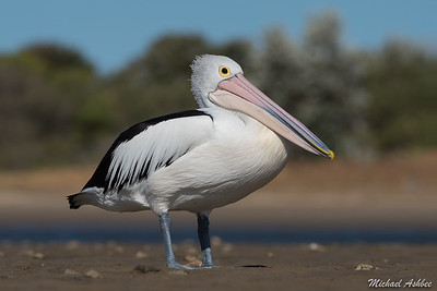 Australian Pelican (Rare Australian Vagrant)
