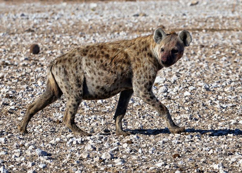 SPOTTED HYENA - NAMIBIA
