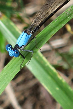 Blue-fronted Dancer (Argia epicalis)