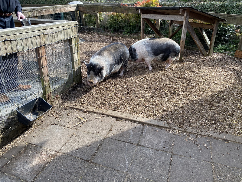 Boris and Borage - The Herbfarm's Pet Pot-Bellied Pigs