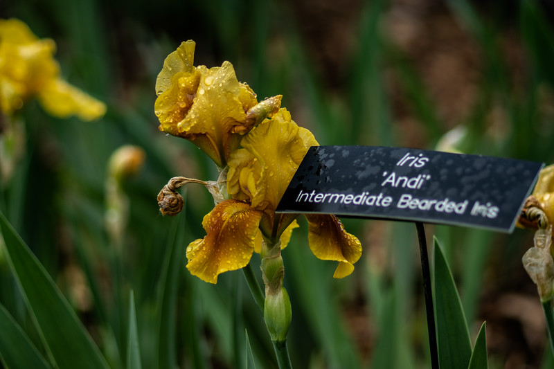 Arboretum Flower Iris-06389.JPG