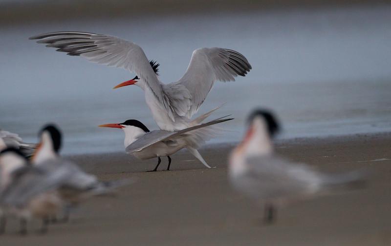 Elegant Tern  Camp Pendleton 2015 04 25-10.jpg