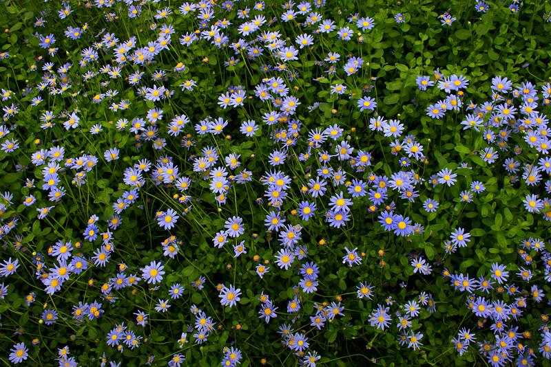 Everyone gets blue daisies!