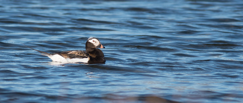 Long-tailed Duck Twin Lakes Road Churchill Manitoba Canada DSC00605.jpg