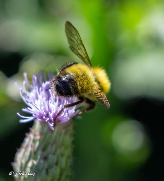 yellow bee 070717-2.jpg