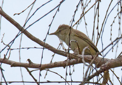 Acrocephalus australis - Australian Reed Warbler