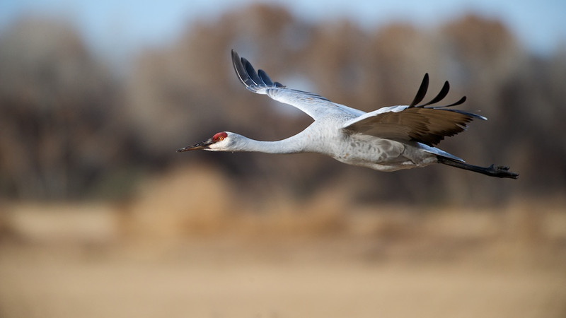 Sandhill Crane In-Flight #1