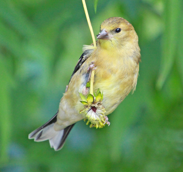 Female goldfinch 063