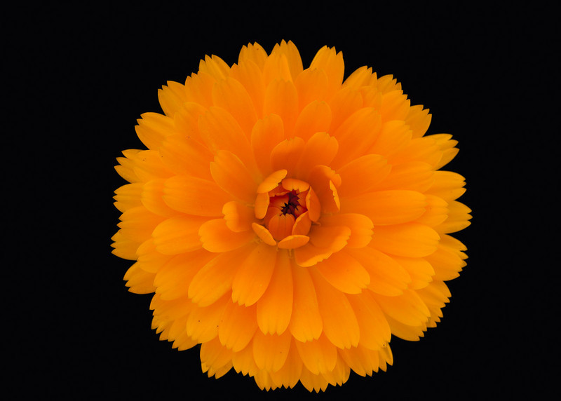 Calendula, grew these for the herb garden.