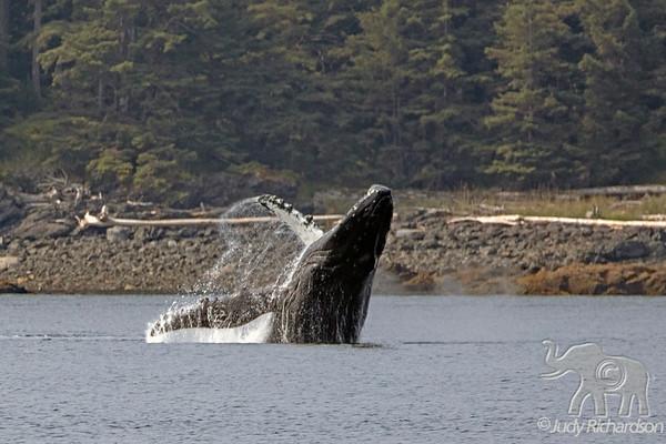 Whales in SE Alaska-2019