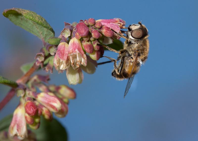 Hover fly on snowberry (symphoricarpos chenaultii Hancock) flower.