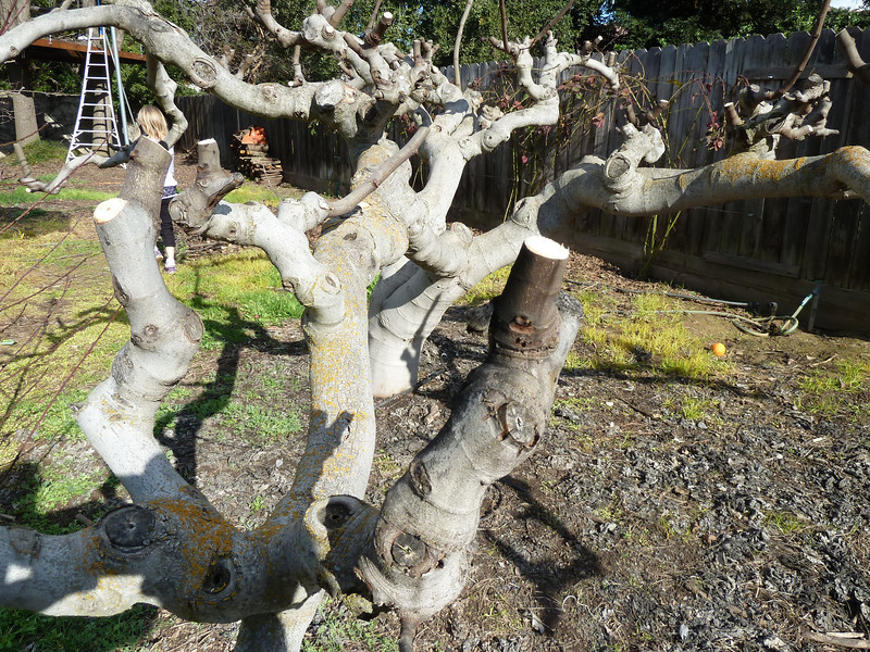 Kadota fig tree pruning.  Note the very short stub of the last year's growth.   To allow the horizontal branches to lengthen, a longer (1 to 2 foot) length can be allowed to extend from the end of the existing branch.