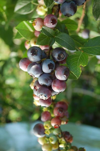 U-Pick Blueberries at Abbott Farms