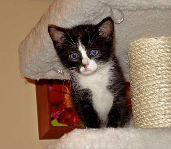 Kitten Silvie
