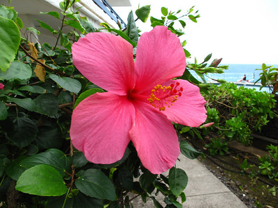 2009 Big Island Hibiscus