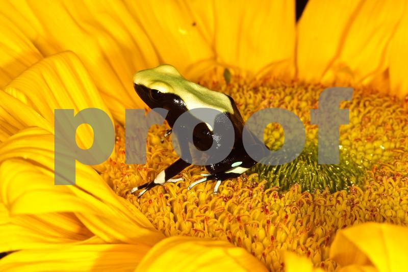 Yellowback Poison Arrow Frog