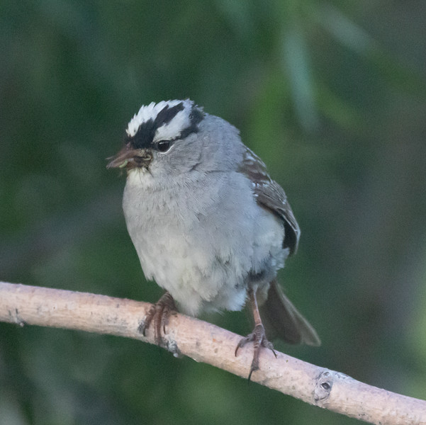 White-crowned Sparrow (Oreantha) Mammoth Lakes 2021 06 23-2.CR3