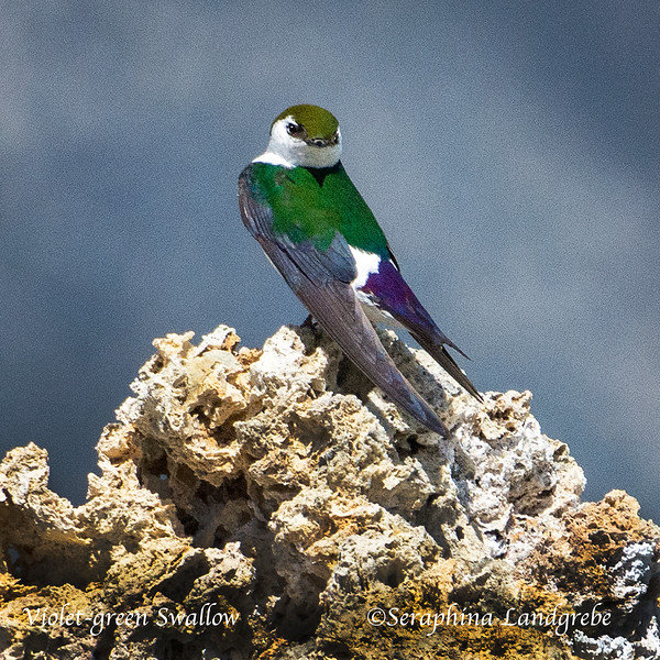 _DSC3752Violet-green Swallow.jpg