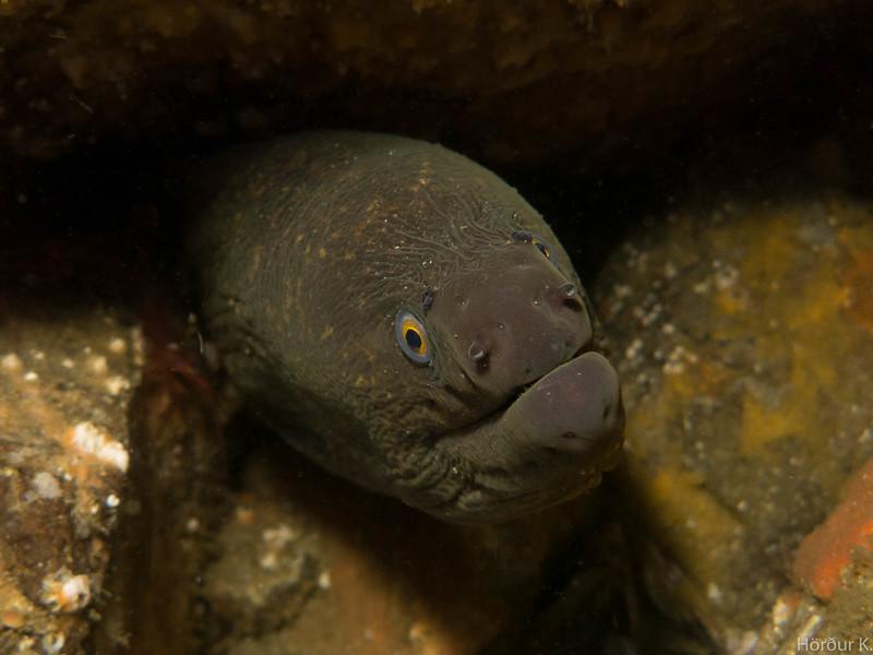 California moray