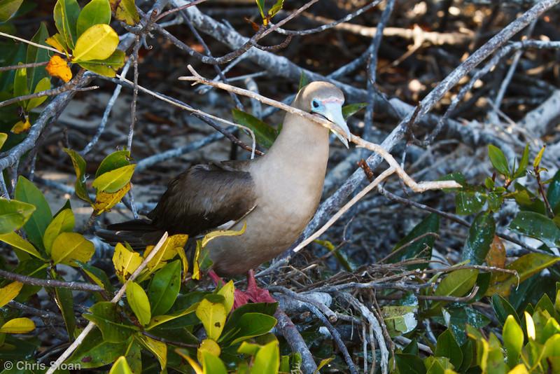 Red-footed Booby brown morph adult at Darwin Bay, Genovesa, Galapagos, Ecuador (11-25-2011) - 336.jpg
