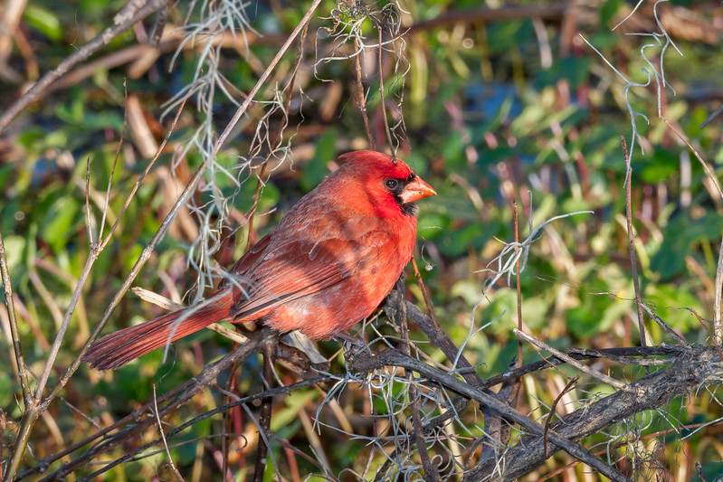 Northen Cardinal