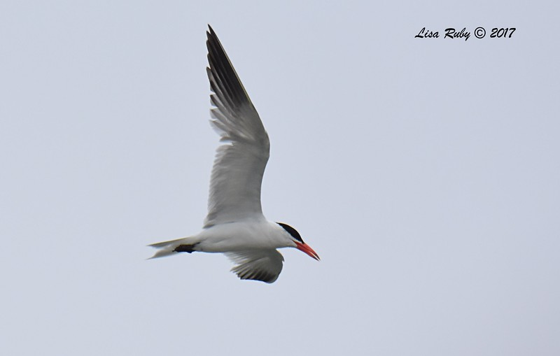 Caspian Tern r - 8/27/2017 - Imperial Beach, walk to river mouth