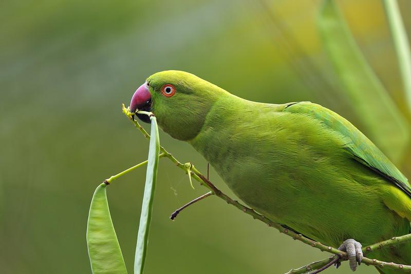 Rose-Ringed-Parakeet-02.jpg