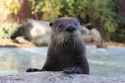 Edmonton Valley Zoo - North American River Otter