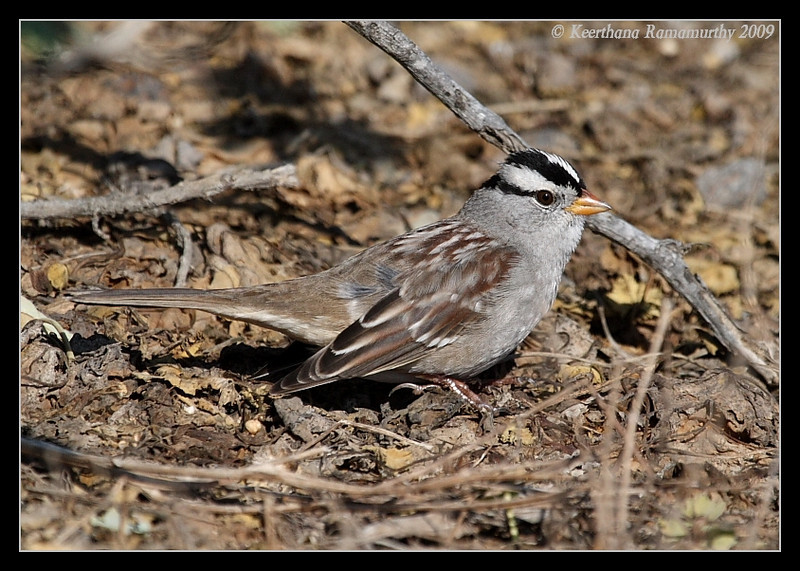 White-crowned sparrow, Anacapa Island, Channel Islands, November 2008