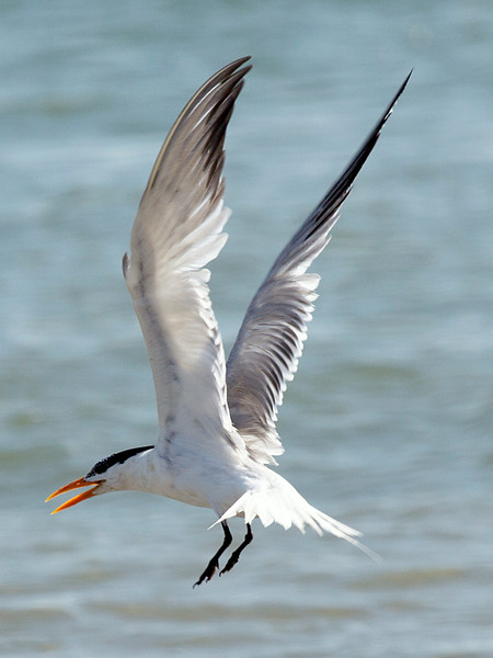 A Royal Tern comes in to land ...