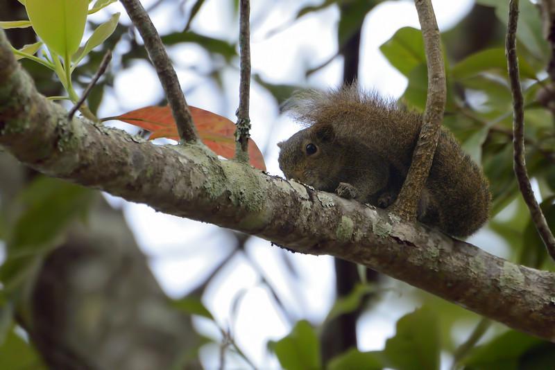 Hoary-bellied-Squirrel.jpg