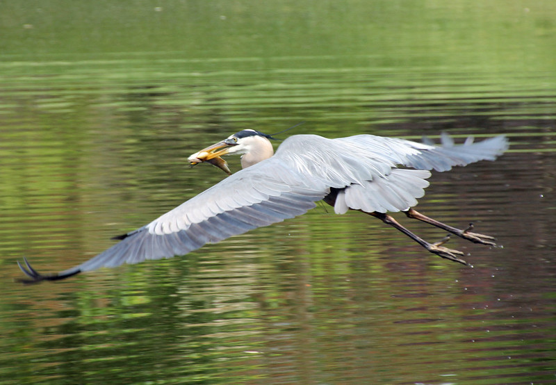 Great Blue Heron flying with fish
