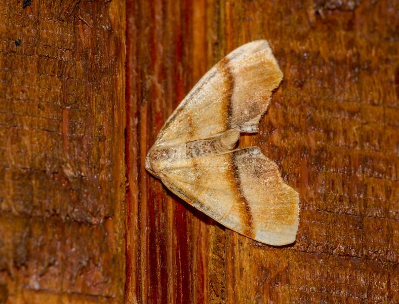 Plagodis phlogosaria Straight-lined Plagodis 6842 Family Geometridae Skogstjarna Carlton County MN  IMG_0730.jpg