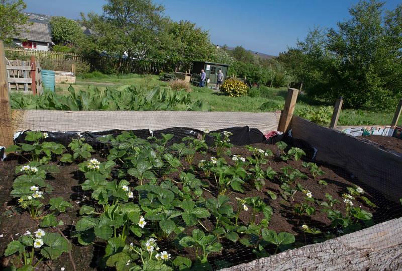 Strawberries growing in raised beds
