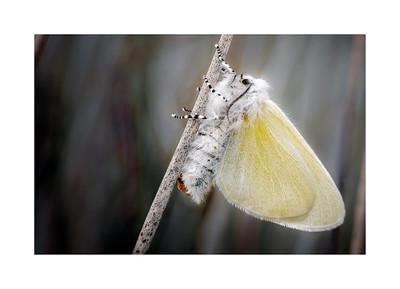Wildlife:  Macro Moths