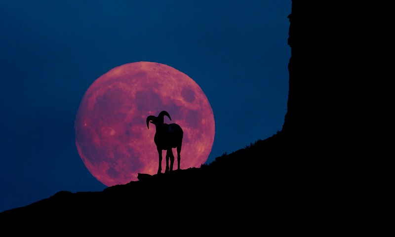 Two images brought together in Photoshop; Bighorn Sheep & full moon [October; Yellowstone National Park, Wyoming]