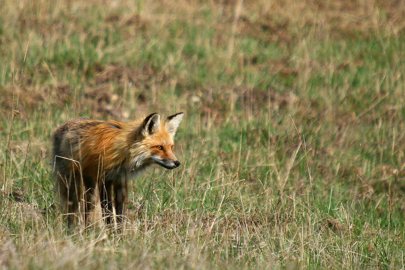 This red fox snuck up behind be while it was hunting in the field