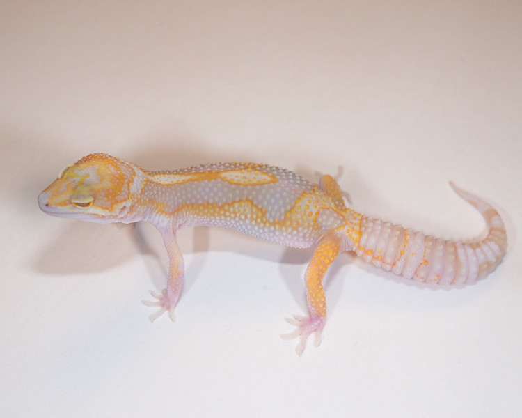 LG4815, $50, Tremper Albino, Male, 48+ grams